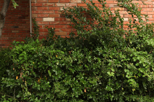 hedge Trimmer review (2 of 5)