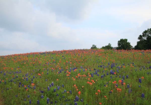 texas bluebonnet trail ennis tx (23 of 28)