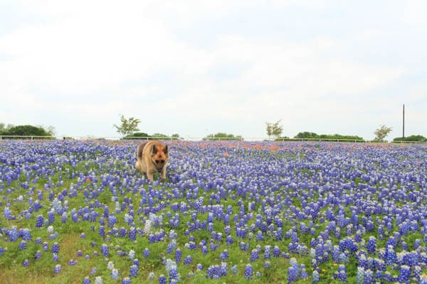 texas bluebonnet trail ennis tx (5 of 28)