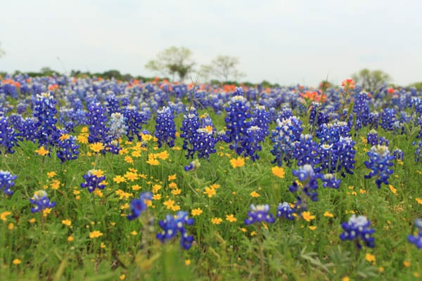 texas bluebonnet trail ennis tx (6 of 28)