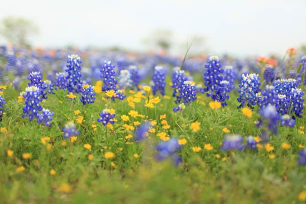texas bluebonnet trail ennis tx (8 of 28)