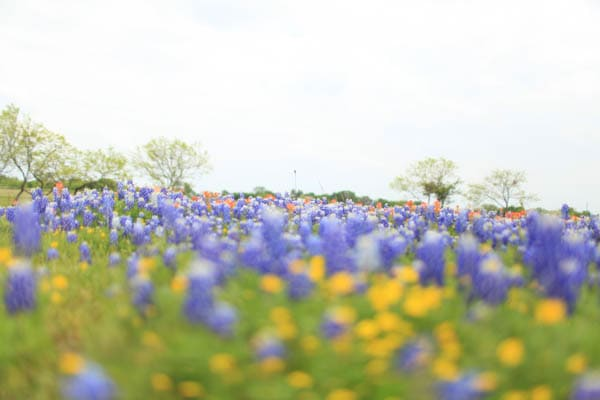 texas bluebonnet trail ennis tx (9 of 28)