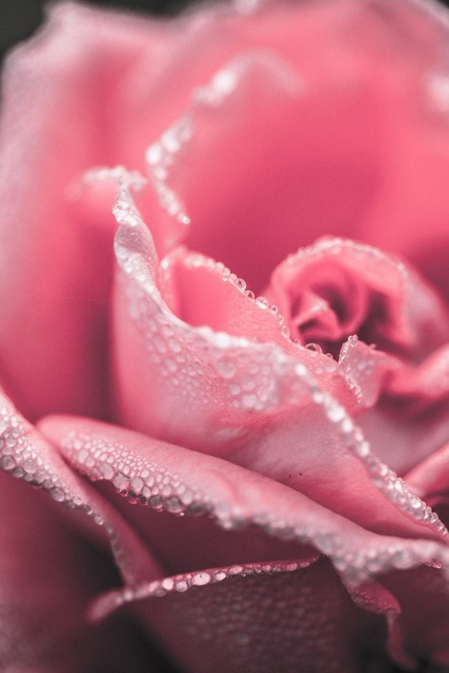 Cute wallpapers for girls - close up pink rose