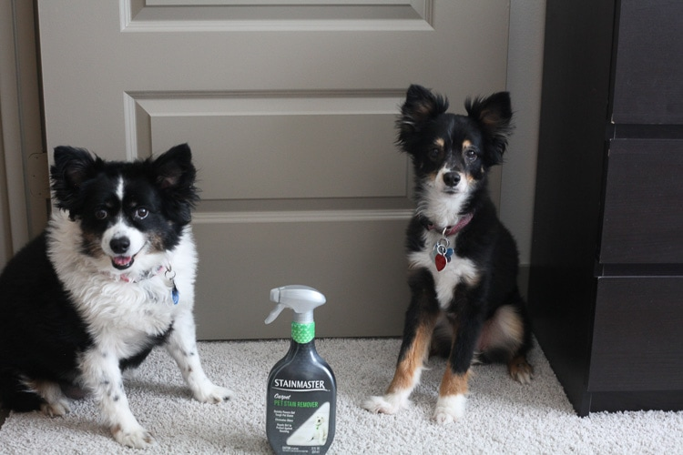 How to remove pet stains? Pet stain removal! STAINMASTER helps remove stains, repel dirt and eliminate odors — perfect for pets!
